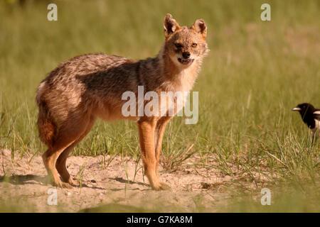 Chacal européen, Canis aureus moreoticus, seul mammifère de l'herbe, Roumanie, Juin 2016