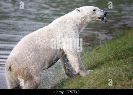 Pixel, le nouvel ours polaire vieux de deux ans, arrive au Yorkshire Wildlife Park.