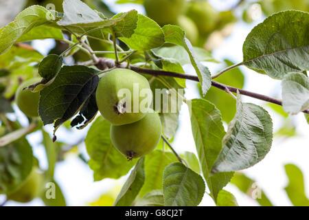 Deux pommes vertes qui poussent sur l'arbre Banque D'Images