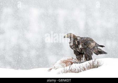 L'Aigle royal (Aquila chrysaetos) des profils au cours de blizzard, l'alimentation, à l'évacuation de la neige dans la carcasse, Lauvsness, Flatanger, la Norvège.