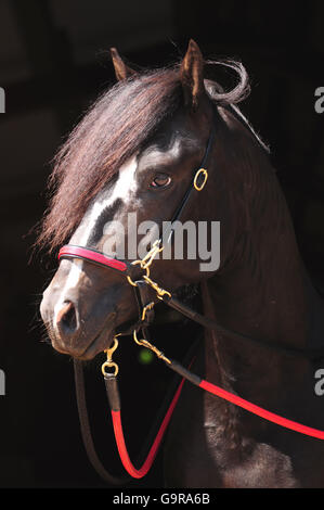 Paso Fino, stallion Banque D'Images