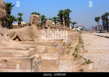Sphinx, nouvellement creusé Avenue voie processionnelle entre le temple de Louxor et Karnak Temple, Luxor, Egypte, Banque D'Images