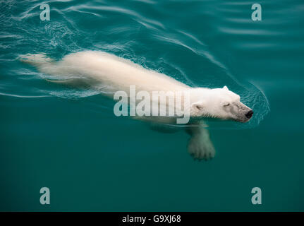 L'ours polaire (Ursus maritimus) natation, Nordaustlandet, Svalbard, Norvège, juillet.