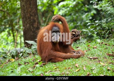 L'orang-outan de Sumatra (Pongo abelii) dans les forêts tropicales de Sumatra, Indonésie, Asie Banque D'Images