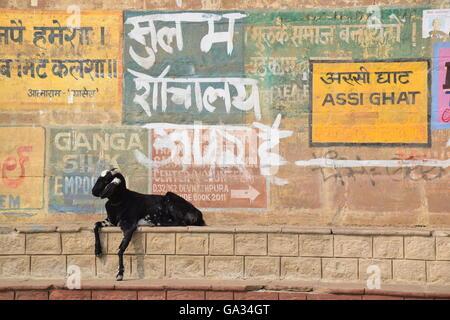 Repos de chèvre sur les marches d'assi ghat de Varanasi (Inde) Banque D'Images