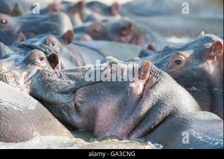 Hippopotame (Hippopotamus amphibius), Parc National de Serengeti, Tanzanie Banque D'Images
