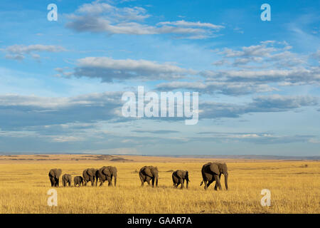 L'éléphant africain (Loxodonta africana) troupeau marchant dans les plaines pendant la saison sèche, Masai-Mara Banque D'Images
