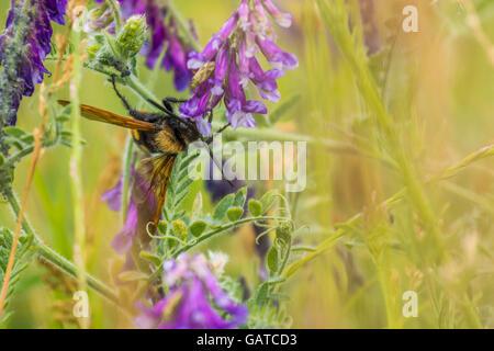 Abeille sur fleur. Abeille pollinisant les fleurs du printemps. L'abeille d'été. Abeille sur fleur. Libre de l'abeille. Banque D'Images