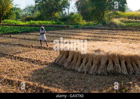Agriculteur dans son champ de blé près de Paud Mulshi village, vallée, Maharashtra, Inde. Balles récoltées sont Banque D'Images