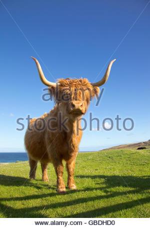 Une vache Highland près de Port Ellen sur l'île d'Islay, Hébrides intérieures, de l'Écosse. Banque D'Images