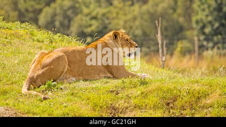 Une lionne se prélassent au soleil sur une colline Banque D'Images