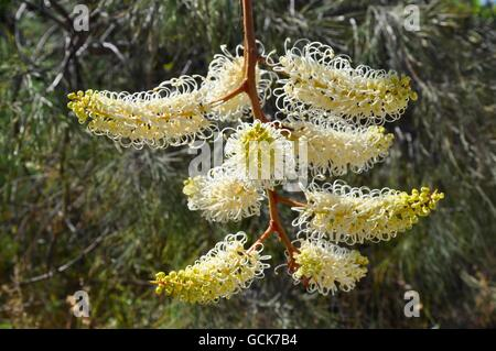 Hanging jaune crémeux et blanc fleur araignée filiformes, Grevillia lune, dans la nature en plein air dans l'ouest Banque D'Images