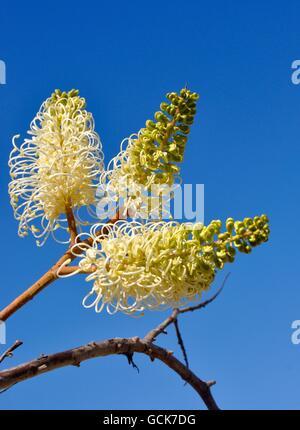 Blanc et jaune crème fleur araignée filiformes, Grevillia lune, avec un fond de ciel bleu vif dans l'ouest de l'Australie. Banque D'Images