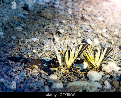 Deux easter tiger papillons machaons l'eau potable à la rive de la rivière Banque D'Images
