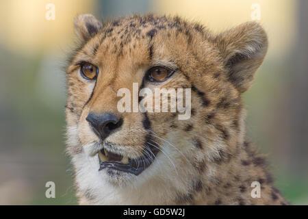 Cheetah série gros plan Banque D'Images