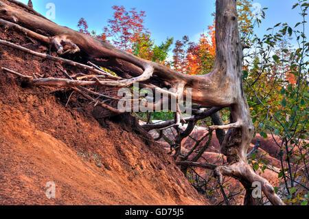 Racines de l'arbre sec sur rouge le sol érodé, Cheltenham Badlands, Ontario, Canada Banque D'Images