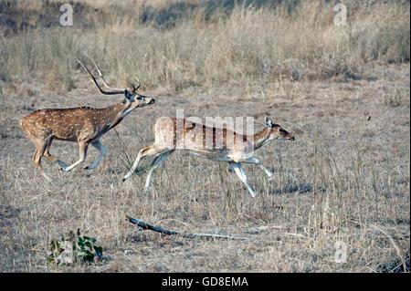 L'image de Spoted ( cerf Axis axis ) sur run a été prise dans le parc national de Bandavgarh, Inde Banque D'Images
