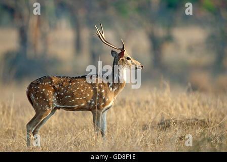 L'image de cerfs communs repèrés ( Axis axis ) a été prise dans le parc national de Bandavgarh, Inde Banque D'Images