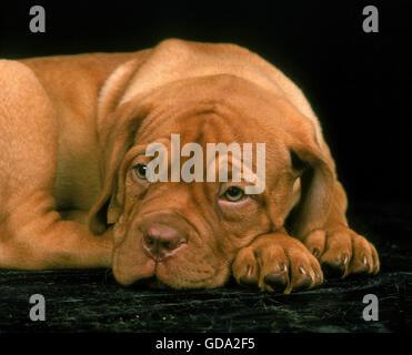 Bordeaux, chien de Mastiff chiot en appui sur fond noir Banque D'Images