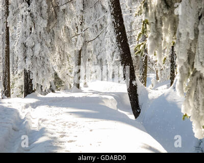 Allemagne, Basse-Saxe, Schleswig-Holstein, paysage enneigé, sur la Clausthaler Flutgraben, le ski de fond dans le Banque D'Images