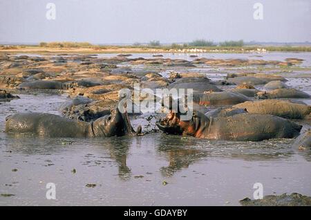 HIPPOPOTAMUS Hippopotamus amphibius, les mâles se battre, Parc des Virunga AU CONGO Banque D'Images