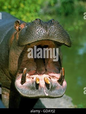 Hippopotame, Hippopotamus amphibius, bâillements adultes, avec la bouche ouverte Banque D'Images
