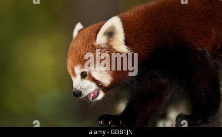 Le panda rouge, Ailurus fulgens, adulte Banque D'Images