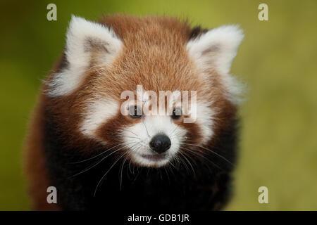 Le panda rouge, Ailurus fulgens, Portrait d'adulte Banque D'Images