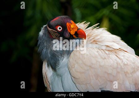 Tête de vautour ROI Sarcoramphus papa Banque D'Images