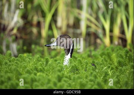 Le Canard pilet Anas acuta, des profils en étang, Normandie Banque D'Images