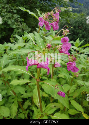 Druesiges Springkraut Impatiens glandulifera,;