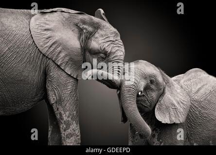Couple d'éléphants en noir et blanc. Banque D'Images