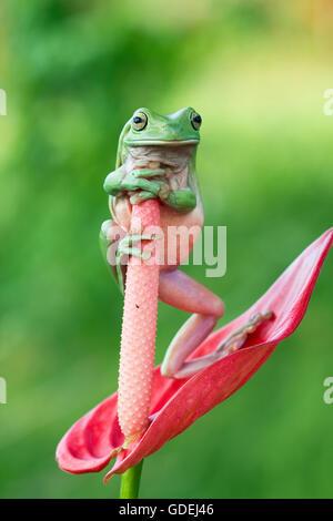 Dumpy grenouille d'arbre debout sur fleur de l'anthurium Banque D'Images