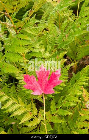 Rocky Mountain feuille d'érable sur les fougères à l'automne. Banque D'Images