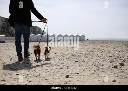 Man Walking Chihuahua chiens sur plage, Normandie Banque D'Images