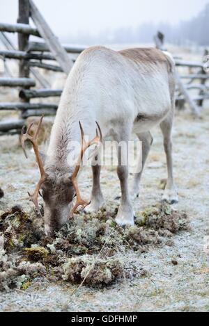 Manger du renne en Laponie finlandaise moss.