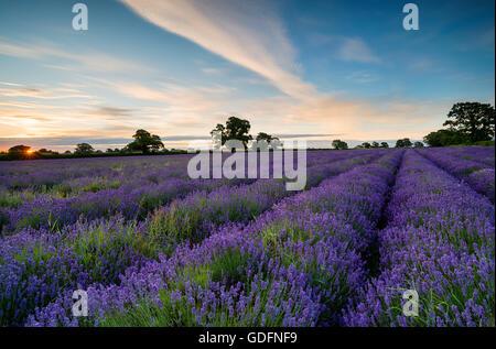 Lever de soleil sur un champ de lavande qui fleurit dans la campagne du Somerset Banque D'Images