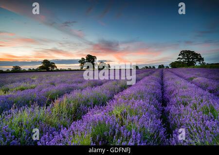 Lever de soleil sur un champ de lavande dans la campagne du Somerset croissante Banque D'Images