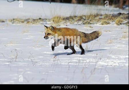 Le Renard roux Vulpes vulpes EN MARCHE DANS LA NEIGE , CANADA Banque D'Images