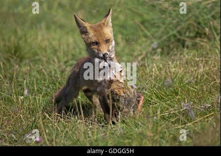 Le renard roux, Vulpes vulpes, adulte avec une perdrix Kill, Normandie