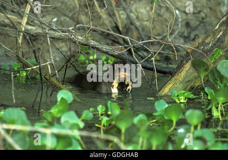 Pteronura brasiliensis, loutres géantes, des profils en rivière, Pantanal au Brésil