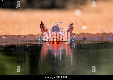 Le Cardinal nord (mâle) - Santa Clara, McCook Ranch, Texas, États-Unis Banque D'Images