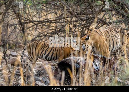 Tigresse du Bengale family eating un kill de Nilgai ou antilope bull bleu à Ranthambhore, Inde. ( Panthera tigris Banque D'Images