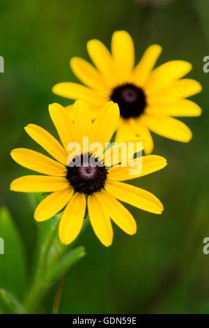 Rudbeckia fleurs Black Eyed Susan en fleur. Banque D'Images