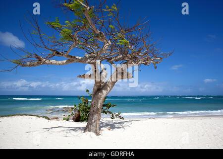 Cristal bleu de la mer et le vent a balayé tree à Playa Guardalavaca beach, province de Holguín, Cuba Banque D'Images