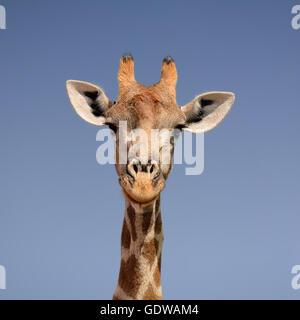 Gros plan d'un portrait du visage d'une girafe en Afrique australe Banque D'Images