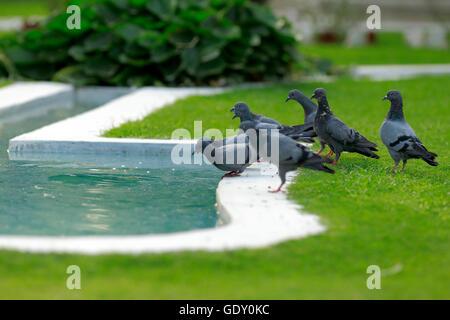 Un groupe de pigeons marcher dans l'herbe verte pour boire de l'eau Banque D'Images