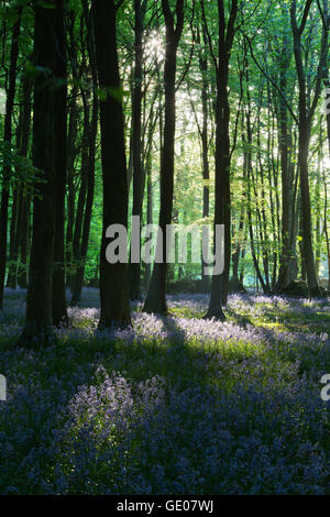 Bluebell wood, près de stow-on-the-Wold, Cotswolds, Gloucestershire, Angleterre, Royaume-Uni, Europe Banque D'Images
