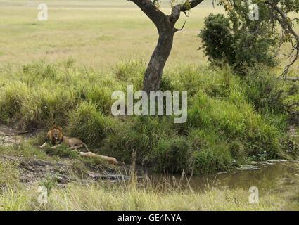 Paire d'accouplement des lions se reposant à l'ombre de l'arbre par flux, Masai Mara, Kenya Banque D'Images
