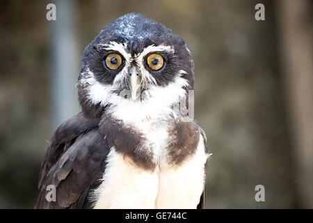 Chouette à lunettes (Pulsatrix perspicillata) © Jason Richardson / Alamy Live News Banque D'Images